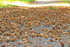 Macro do fruto da faia de Brown no outono no assoalho fotografia de stock royalty free
