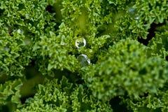 Macro do Kale Fotos de Stock