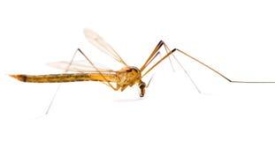 Macro do mosquito imagem de stock