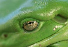 Macro do olho da râ de árvore (caerulea do litoria) Imagem de Stock Royalty Free