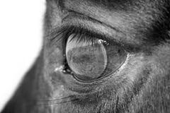 Macro do olho do cavalo fotografia de stock royalty free