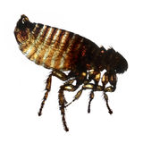 Macro do parasita da pulga de gato isolado através de um microscópio Imagens de Stock Royalty Free