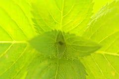 Macro do Peppermint Fotografia de Stock