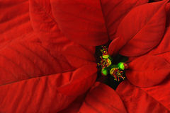 Macro do Poinsettia Imagem de Stock Royalty Free