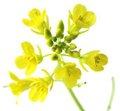 Macro do Rapeseed Foto de Stock