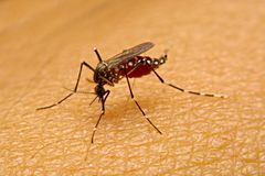 Macro do sangue de sugação do aegypti do Aedes do mosquito próximo acima no Foto de Stock Royalty Free