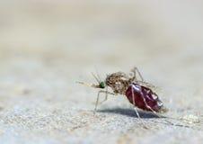Macro do sangue de sugação do aegypti do Aedes do mosquito Fotos de Stock Royalty Free