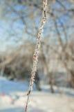 Macro do sol do hoar do ramo do vidoeiro Fotografia de Stock