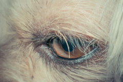 Macro of dog eye. Mixed breed with Shih-Tzu, Pomeranian and Poodle, Beige color , process in vintage style Royalty Free Stock Image