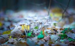 Macro dos cogumelos uneatable pequenos que crescem na floresta do outono imagens de stock