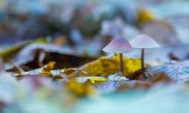 Macro dos cogumelos uneatable pequenos que crescem na floresta do outono imagens de stock royalty free