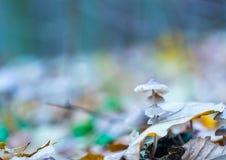 Macro dos cogumelos uneatable pequenos que crescem na floresta do outono Fotografia de Stock