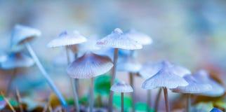 Macro dos cogumelos uneatable pequenos que crescem na floresta do outono foto de stock