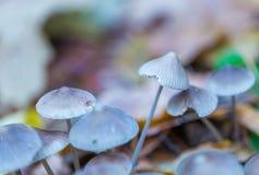 Macro dos cogumelos uneatable pequenos que crescem na floresta do outono Imagem de Stock