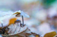 Macro dos cogumelos uneatable pequenos que crescem na floresta do outono Fotografia de Stock Royalty Free