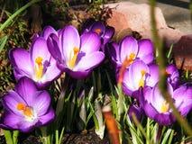Macro dos crocusses no jardim Fotos de Stock Royalty Free