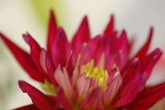Macro dos estames do rosa quente imagens de stock royalty free