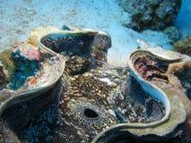 Macro dos moluscos gigantes imagem de stock royalty free