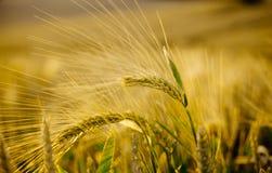 Macro dos pontos próximo acima no campo de trigo do verão imagem de stock