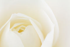 Close -up of double white Camellia Stock Photography