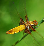 Macro dragonfly. Macro yellow dragonfly with green nature background Royalty Free Stock Photography
