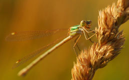 Macro dragonfly. Macro side view of dragonfly on ear of corn or wheat Royalty Free Stock Photos