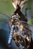 Macro dragonfly Stock Image