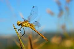 Macro dragonfly Stock Photo