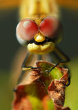 Macro dragonfly. Macro head of dragonfly with compound eyes on leaf Stock Photo