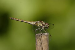Macro dragonfly. Side view of macro dragonfly on wooded post with green nature background Stock Photography