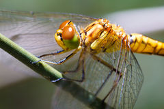 Macro dragonfly Royalty Free Stock Image