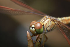 Macro of The Dragonfly Royalty Free Stock Photo