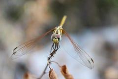 Macro dragonfly Royalty Free Stock Photos