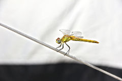 Macro: dragonfly balancing on a rope Stock Photo
