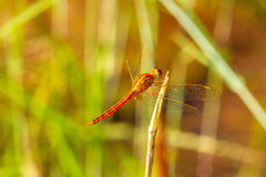 Macro of dragonfly(Crocothemis servilia, Eastern Scarlet Darter, Stock Images
