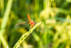 Macro of dragonfly(Crocothemis servilia, Eastern Scarlet Darter, Stock Photo