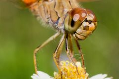 Macro dragonfly on grass flower stock image