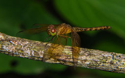 Macro of Dragonfly Stock Image