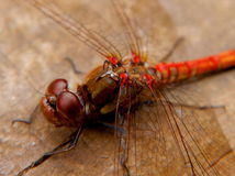 Macro dragonfly Stock Images