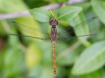 Macro dragonfly with spread wings from above. royalty free stock photos