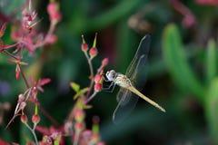 Macro of a dragonfly Royalty Free Stock Photo