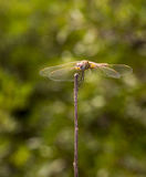Macro: Dragongfly. Dragonfly (Scientific name: Anisoptera) resting on top of a stick with open wings Royalty Free Stock Image