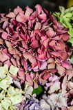 Macro of dried hydrangea flowers Royalty Free Stock Photos