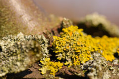 Macro of dried tree moss Royalty Free Stock Images