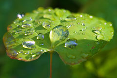 Macro of droplets on sunlit green leave: dew point. Closeup of a wet green leave covered by rain or dew droplets under evening sunlight royalty free stock images