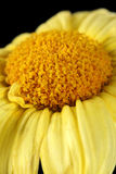 Macro of a dry daisy Royalty Free Stock Images