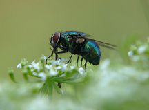 Macro of a blue metallic dung fly on a plant stock photo