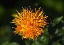 Macro of dyer's-saffron Royalty Free Stock Image