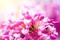 Macro of eastern redbud tree`s. Blooming Judas tree. Cercis siliquastrum, canadensis. Pink flowers banch. Summer and. Spring concept, copy space Royalty Free Stock Images