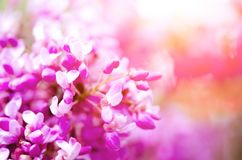 Macro of eastern redbud tree`s. Blooming Judas tree. Cercis siliquastrum, canadensis. Pink flowers banch. Summer and. Spring concept, copy space Stock Photo